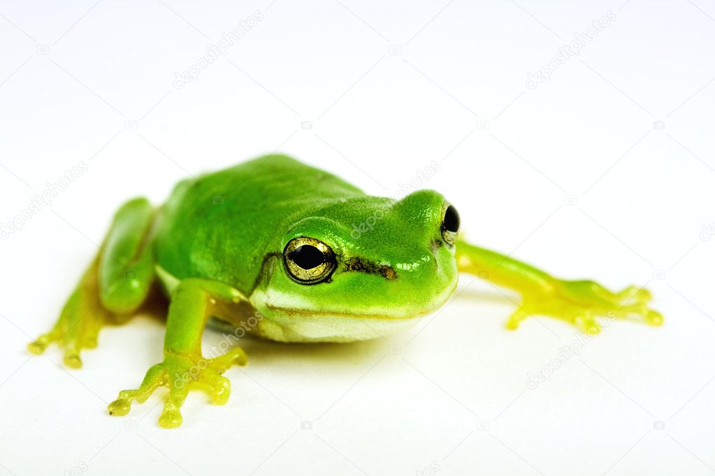 Little tree-frog on white background - close-up — Stock Photo #4474588