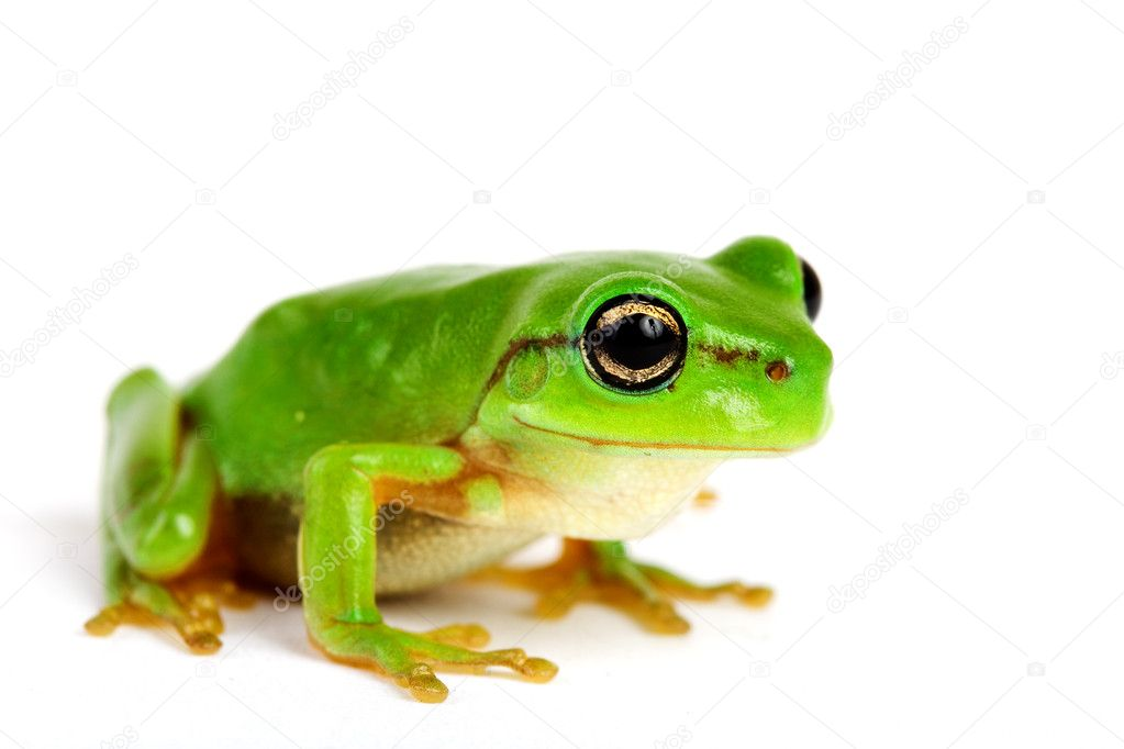 Little tree-frog on white background - close-up  Stock Photo #4474875