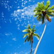 Close up of palm trees agains blue sky — 图库照片