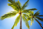 Close up of palm trees agains sunny sky — Stock Photo