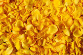 Yellow rose petals — Stock Photo