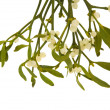 Stock Photo: Viscum album (European Mistletoe , Common Mistletoe) hanging bunch with ber