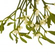 Viscum album (European Mistletoe , Common Mistletoe) hanging bunch with ber — Stock Photo