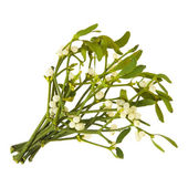Viscum album (European Mistletoe; Common Mistletoe) bunch up, with berries — Stock Photo