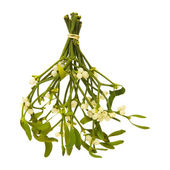 Viscum album (European Mistletoe; Common Mistletoe) tied up bunch with berr — Stock Photo