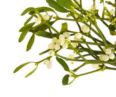 Viscum album (European Mistletoe; Common Mistletoe) bunch with berries; iso — Stock Photo