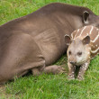 South American Tapir (Tapirus terrestris; Brazilian Tapir; Lowland Tapir; A — Stock Photo