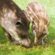 South American Tapir — Stock Photo