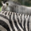 Zebra abstract — Stock Photo