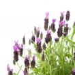 Lavandula Stoechas (French lavender; Spanish Lavender; Topped Lavender), is — Stock Photo