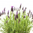 Stock Photo: LavandulStoechas (French lavender; Spanish Lavender; Topped Lavender); is