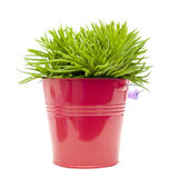 Succulent bush senecio plant; in bright pink ornamental bucket, — Stock Photo