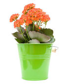 Bright orange flowering kalanchoe plant in ornamental green bucket; isolate — Stock Photo