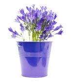 Brodiaea; cluster-lilies in blue ornamental bucket isolated on white backgr — Stock Photo
