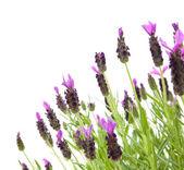 Lavandula Stoechas (French lavender; Spanish Lavender; Topped Lavender); is — Stock Photo