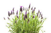Lavandula Stoechas (French lavender; Spanish Lavender; Topped Lavender); is — Zdjęcie stockowe
