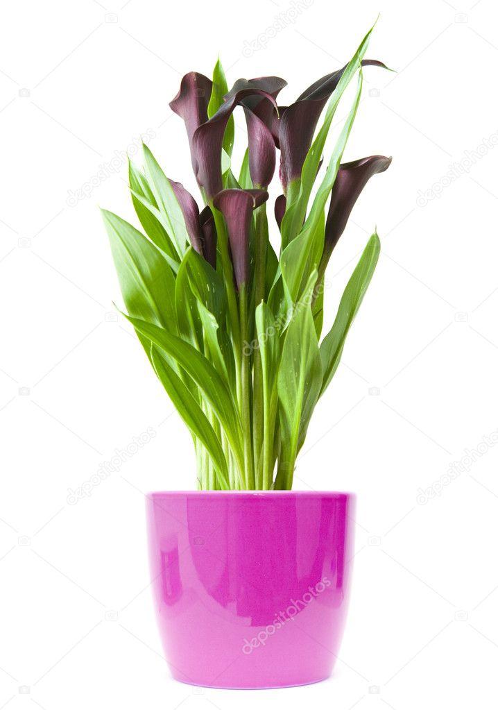 Фиолетовые калла уход в домашних условиях