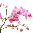 Pink stripy phalaenopsis orchid isolated on white, horizontal composition — Stock Photo #4538666