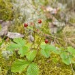 Fragaria vesca, Woodland Strawberry, aka Wild Strawberry, Europe — Stock Photo #4543635