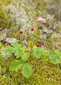 Fragaria vesca, Woodland Strawberry, aka Wild Strawberry, Europe — Stock Photo