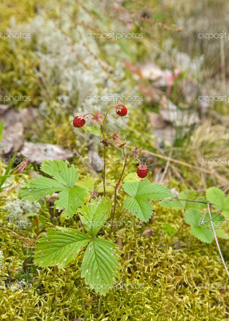 Fragaria vesca, Woodland Strawberry, aka Wild Strawberry, European Strawberry, Alpine Strawberry . red, ripe, sweet, berry, fruit, food, plant, bush, beautiful, — Stock Photo #4543635