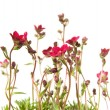 Clump of Red Saxifrage (Saxifraga) isolated on white — Stock Photo