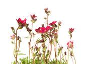 Clump of Red Saxifrage (Saxifraga) isolated on white — Stock Photo