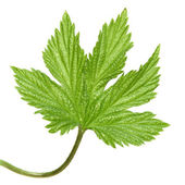 Young wild hops leaf, isolated — Stock Photo
