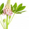 Pink lupine isolated on white - Stock Photo