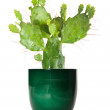 Opuntia cactus in a green pot, isolated — Stock Photo