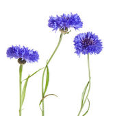 Dark blue cornflower — Stock Photo