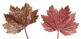 Red-leafed heuchara - decorative foliage — Stock Photo