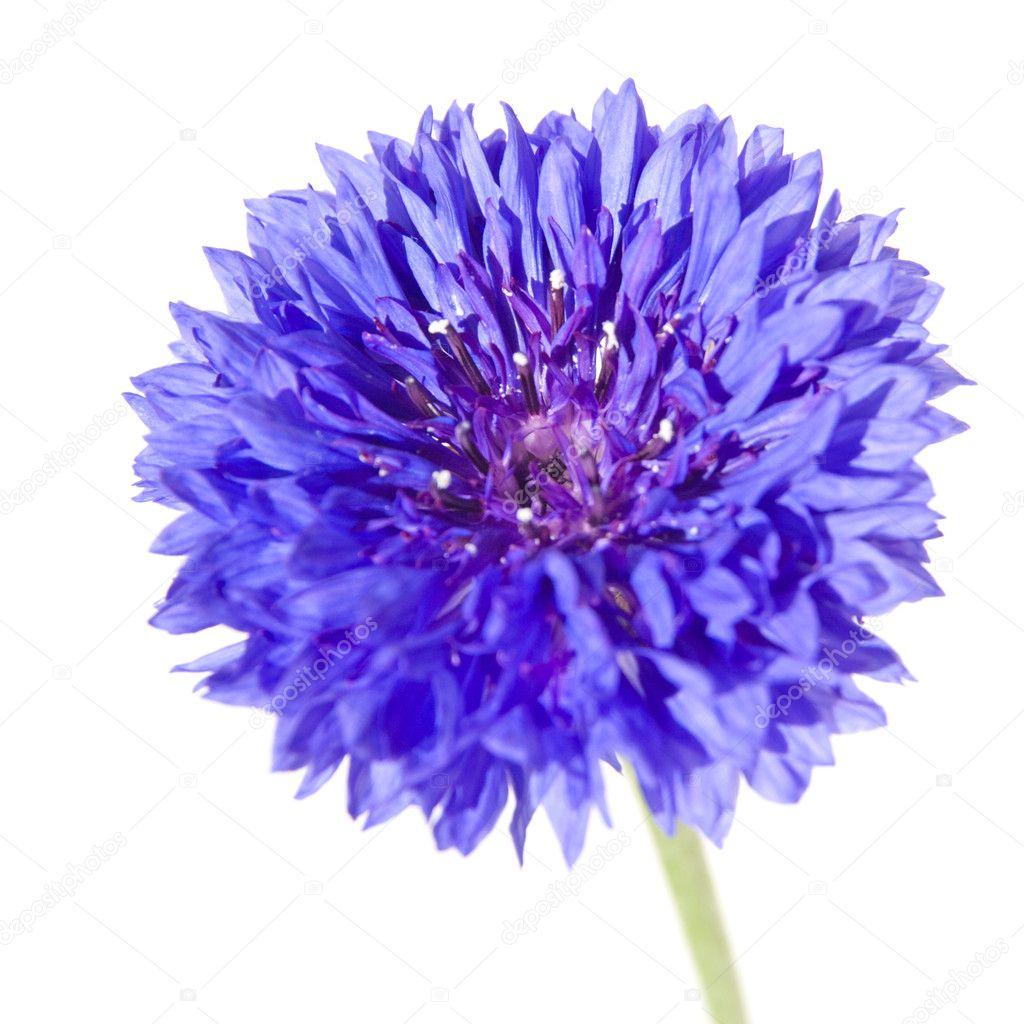 Dark blue cornflower — Stock © Tamara k