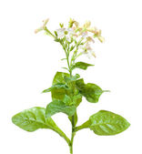 Nicotiana (flowering tobacco garden plant), isolated — Stock Photo