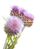 Blooms of Cynara cardunculus — Stock Photo