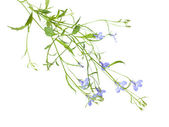 Trailing lobelia plants isolated on white background. — Stock Photo