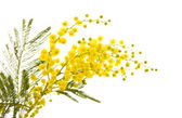 Small branch of mimosa plant with round fluffy yellow flowers; — Stock Photo