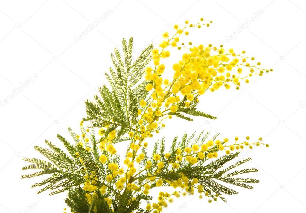 branche de mimosa plante avec rond fleurs jaunes moelleux photographie tamara k 4621614. Black Bedroom Furniture Sets. Home Design Ideas