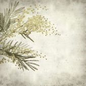 Textured old paper background with round fluffy yellow mimosa fl — Stock Photo