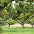 Apple orchard background - Stock Photo