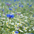 Summer meadow background with cornflower - Stock Photo