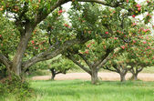 Apple orchard background — Stockfoto