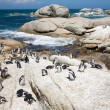 Colony of african penguins — Stock Photo #4657722