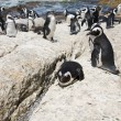 Colony of african penguins — Stock Photo #4657763