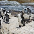 Stock Photo: Youngster. AfricPenguins (Spheniscus demersus), also known as