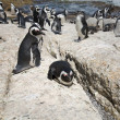 Colony of african penguins — Stock Photo #4657979