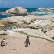 Colony of african penguins — Stock Photo