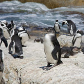 Youngster. African Penguins (Spheniscus demersus), also known as — Stock Photo