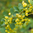 Blooming barberry bush - Stock Photo