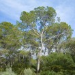 Stock Photo: Group of Aleppo Pines (Pinus halepensis); native to Mediterr